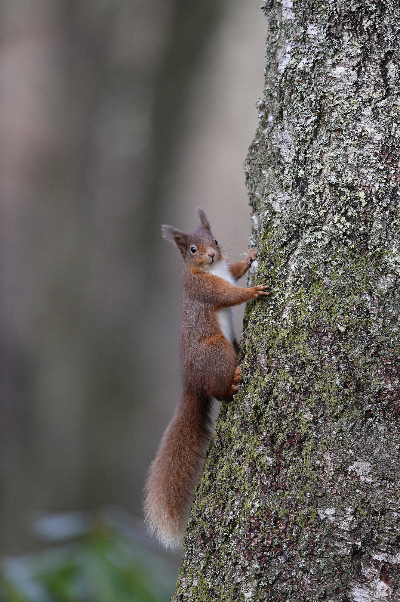 The Scottish Highlands is home to endangered red squirrels