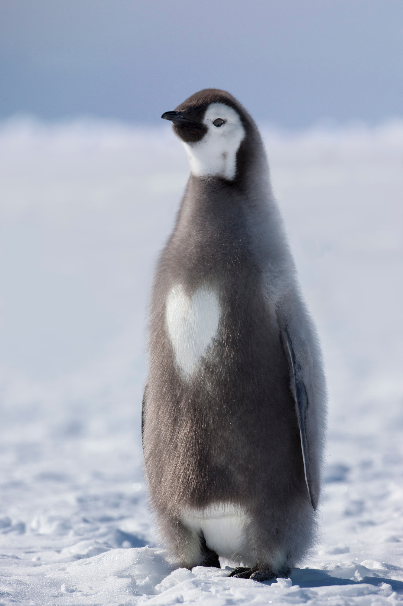 A young penguin captured by Sue Flood