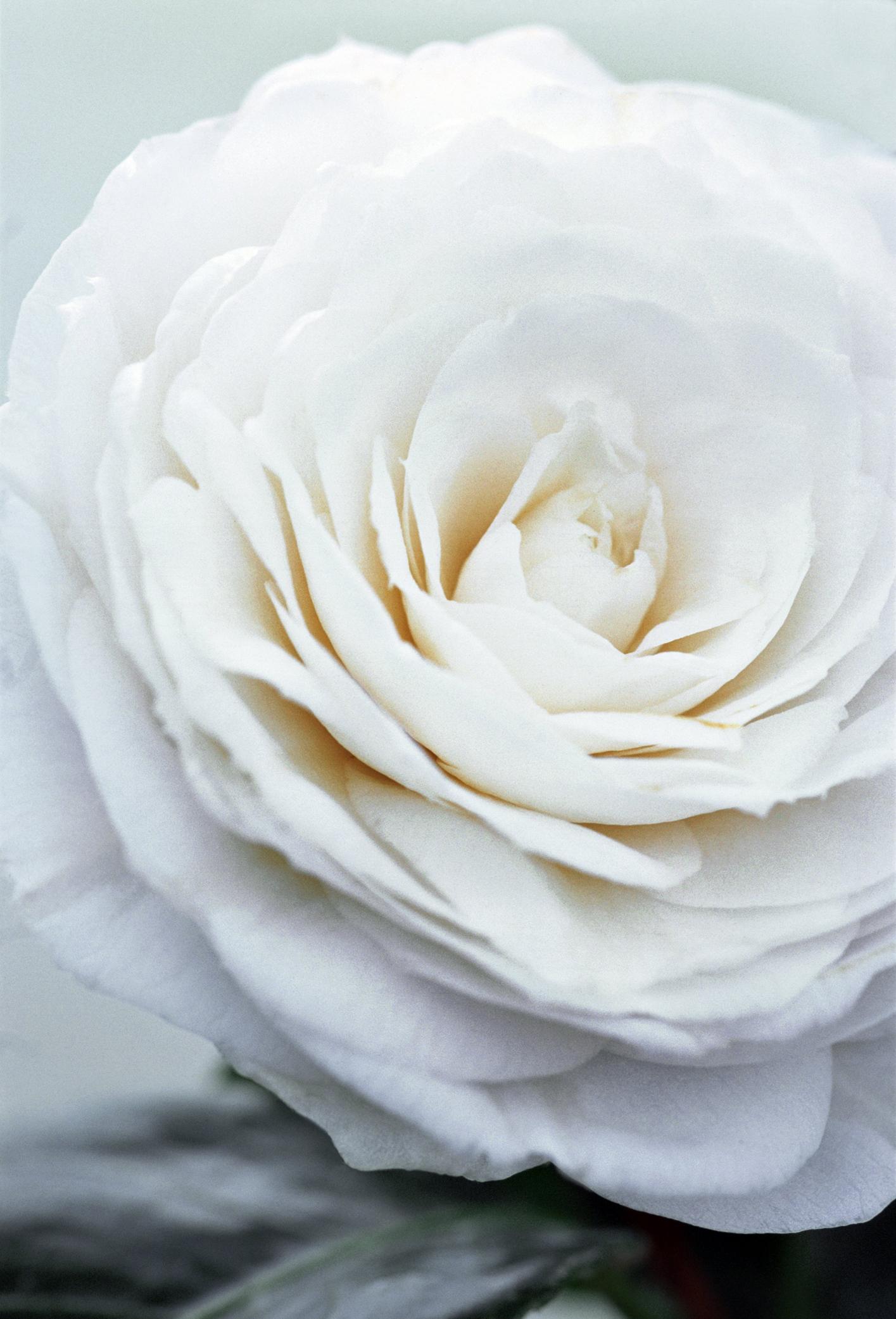 A symbolic white camellia
