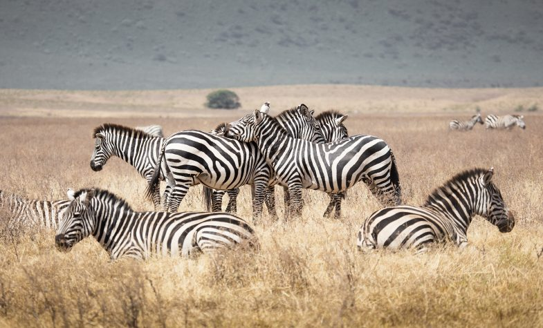 Zebra grazing in the grassland