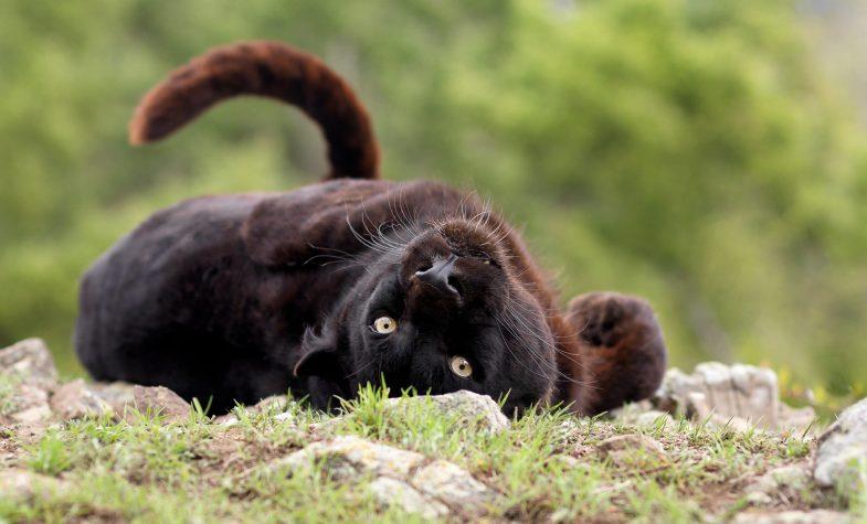A rare black leopard