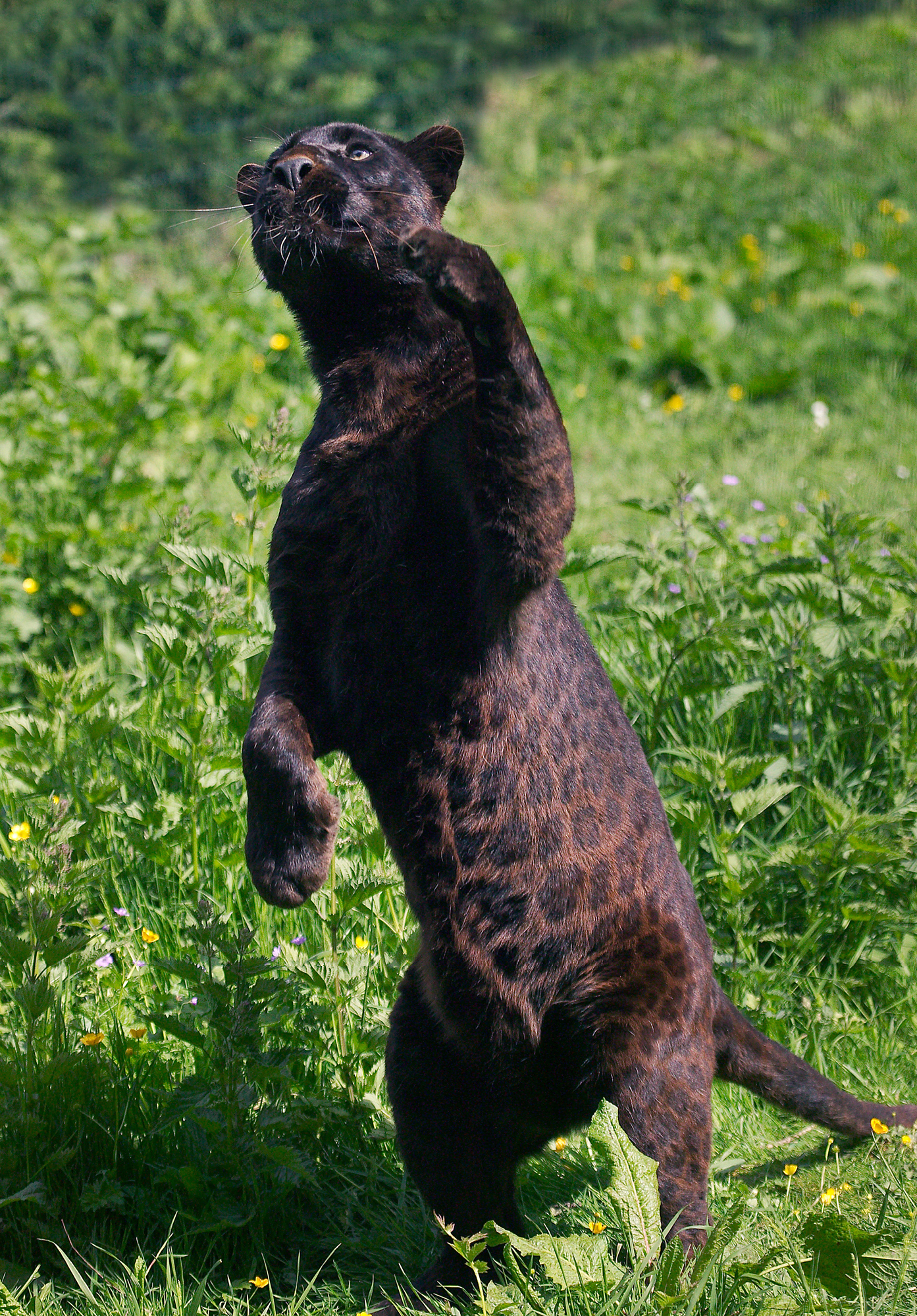 Melanism (black fur) occurs in about 11% of leopards globally