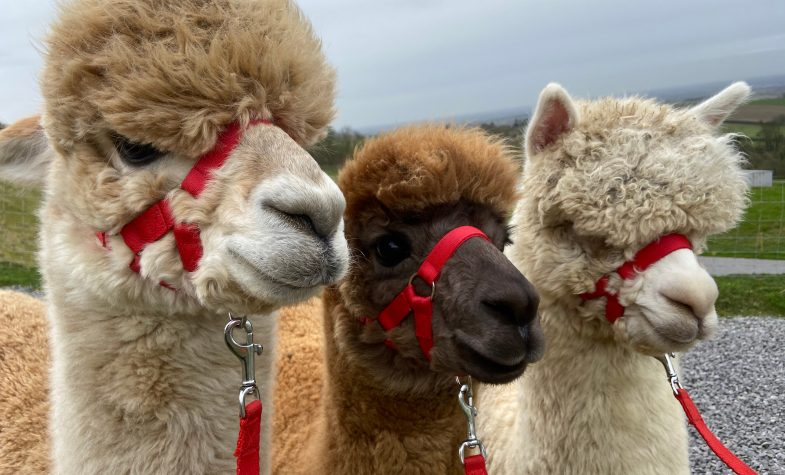 The Private Hill is a farm-free area within the farm, with their kind alpacas roaming around