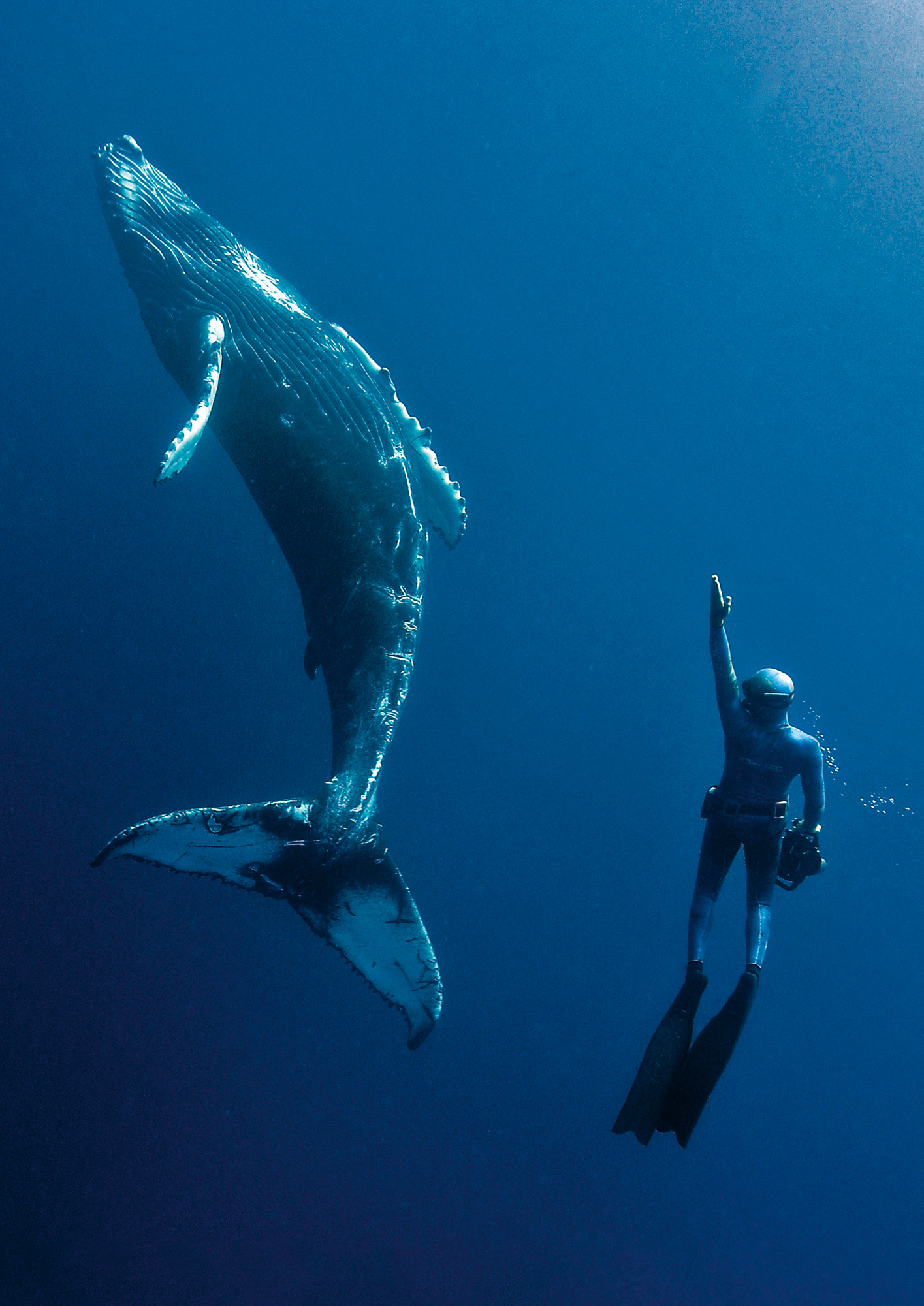 Humpbacks migrate to warmer water to breed
