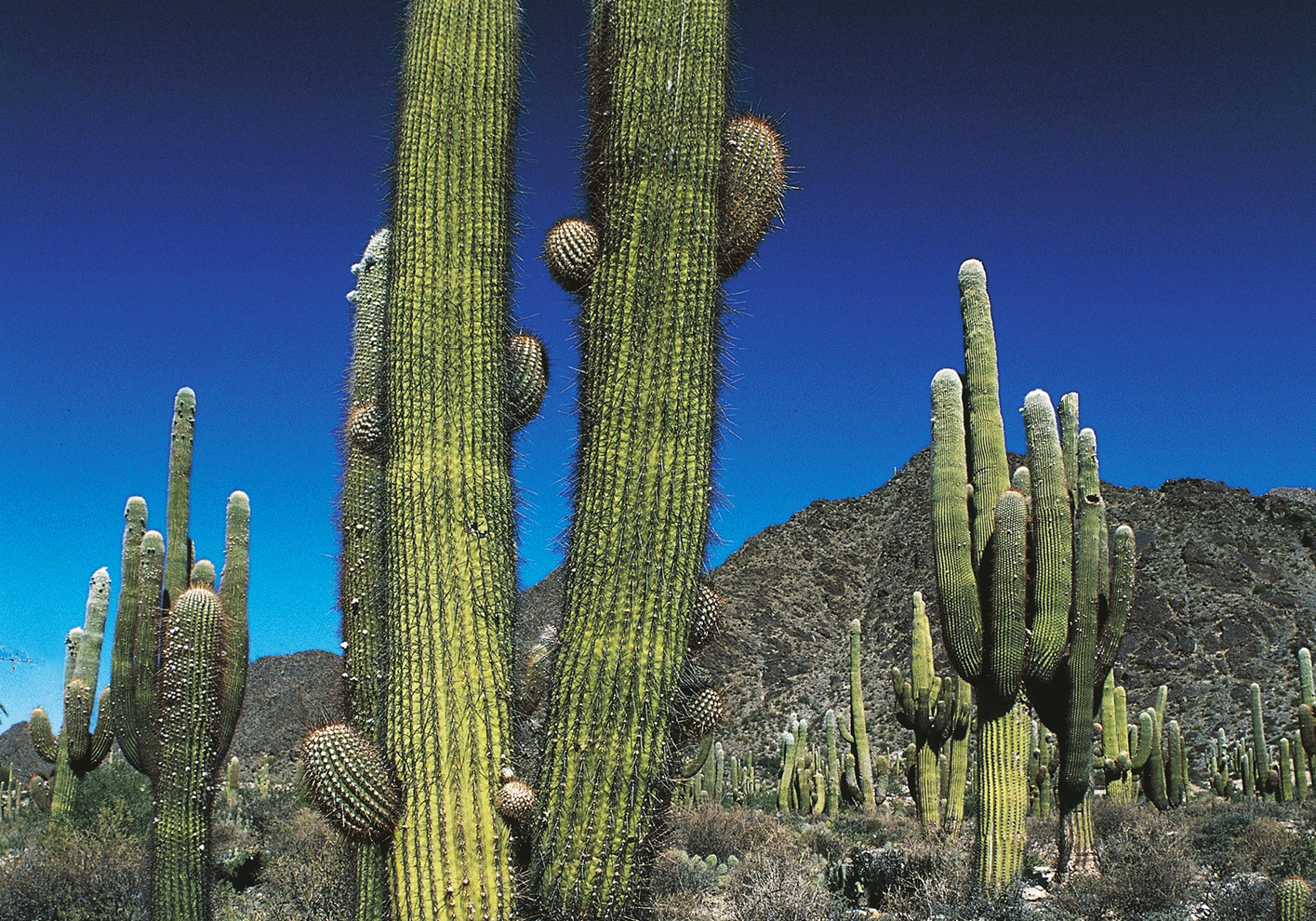 Cacti line the Calchaquíes Valley